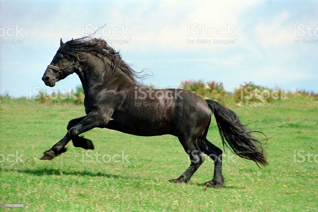 Moc-czarny Koń Ogier fryzyjska, – zdjęcie