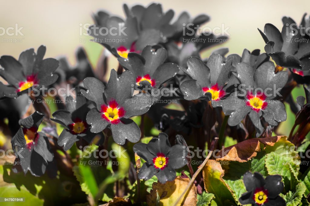 Black primrose flowers (Primula vulgaris) stock photo