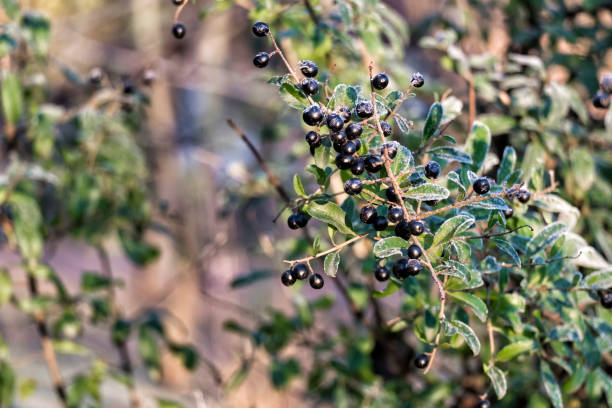 Black privet berries covered with ice crystals (Ligustrum vulgare) stock photo