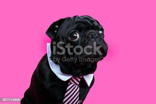istock Black pug dog portrait on pink bacground. 637244858