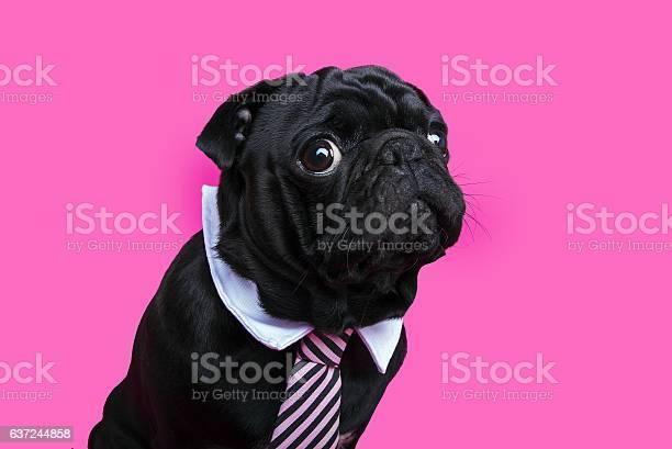 Black pug dog portrait on pink bacground picture id637244858?b=1&k=6&m=637244858&s=612x612&h=etqgdlhradvlxyafug3ch6b7lzoj5nvvvwuhqyxeops=