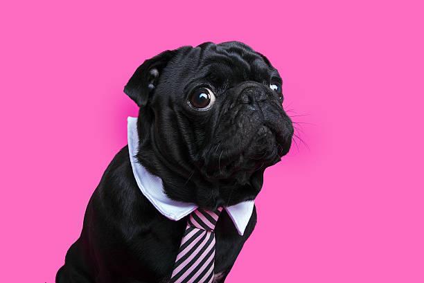 Black pug dog portrait on pink bacground. stock photo