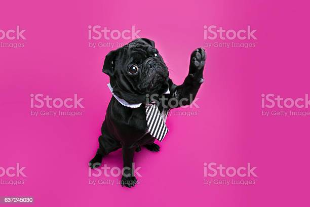 Black pug dog with paw up wearing tie picture id637245030?b=1&k=6&m=637245030&s=612x612&h=lgiymlxkcab8pphnpvtwi9m tbl0pmz2cejnlui lse=