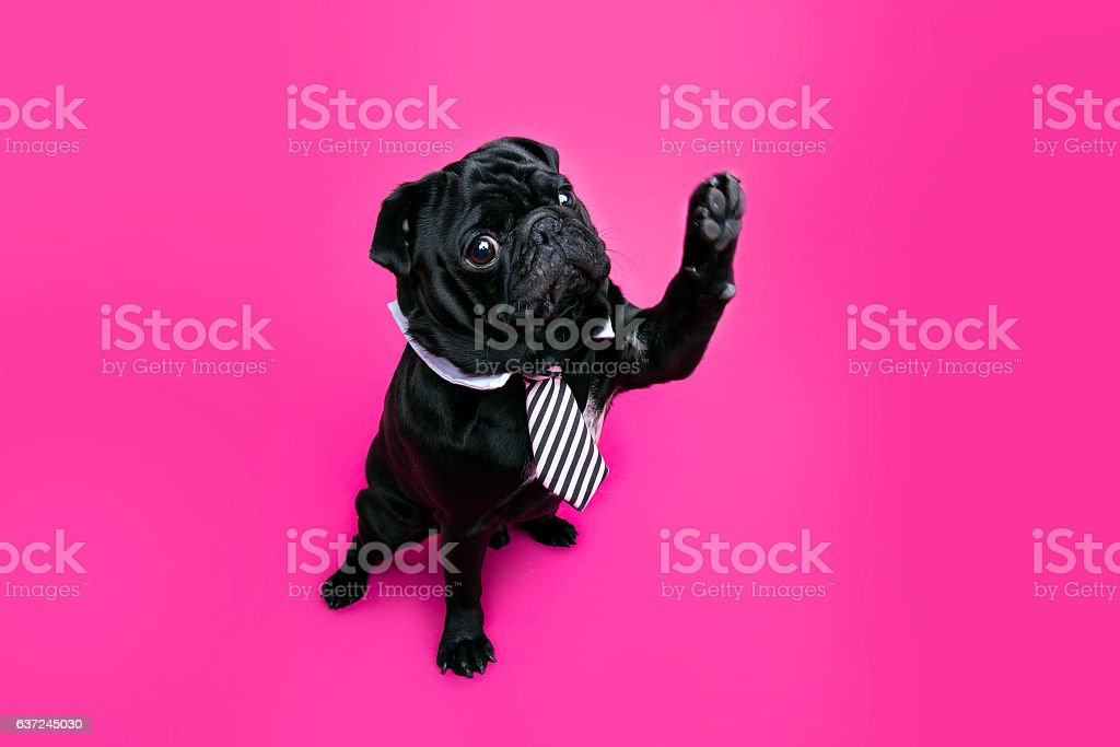 Black pug dog with paw up wearing tie. – Foto