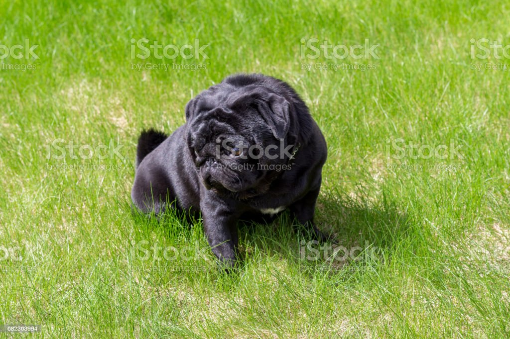 Black pug in the green grass stock photo
