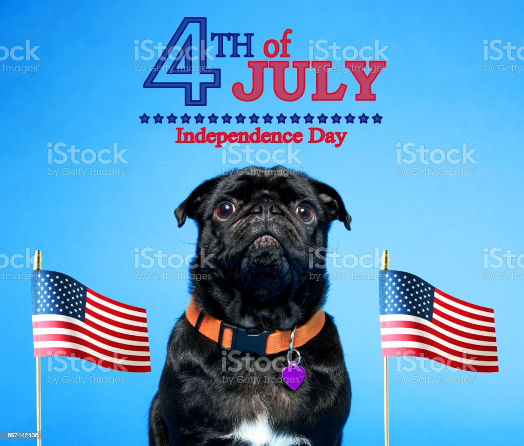 Black pug on the fourth of July stock photo