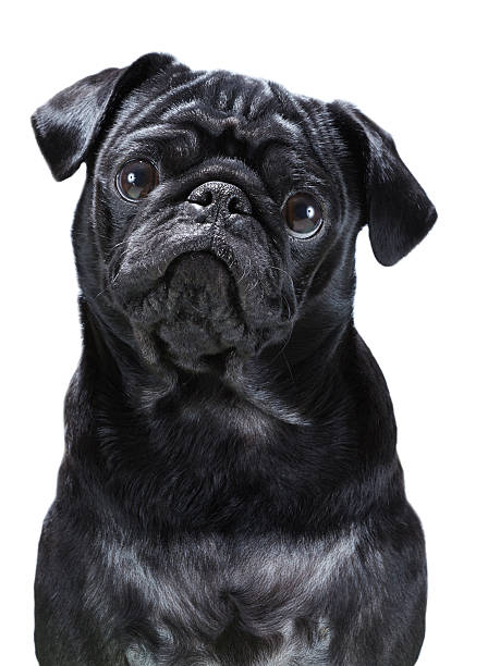 Black Pug stock photo