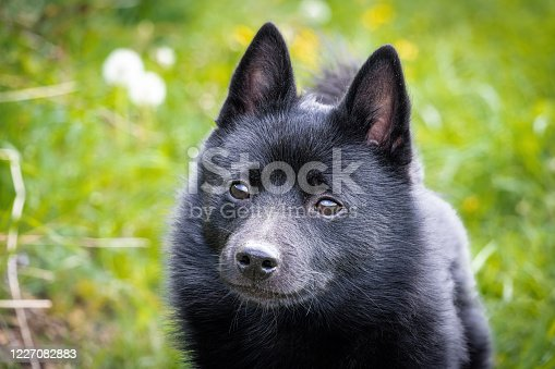 Black puppy dog on grass - breed named Schipperke