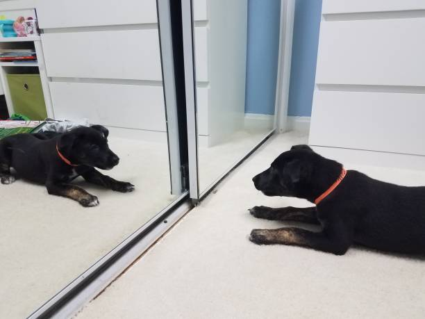 black puppy dog on white carpet looking in the mirror stock photo