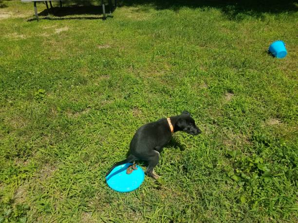 black puppy dog pooping on blue flying disc stock photo
