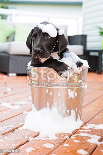 Great dane puppy taking bath on deck