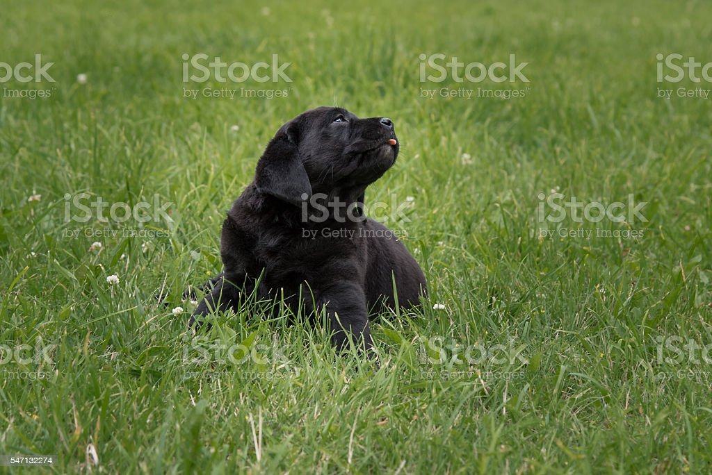 black puppy Labrador Retriever isolated on background of green grass stock photo