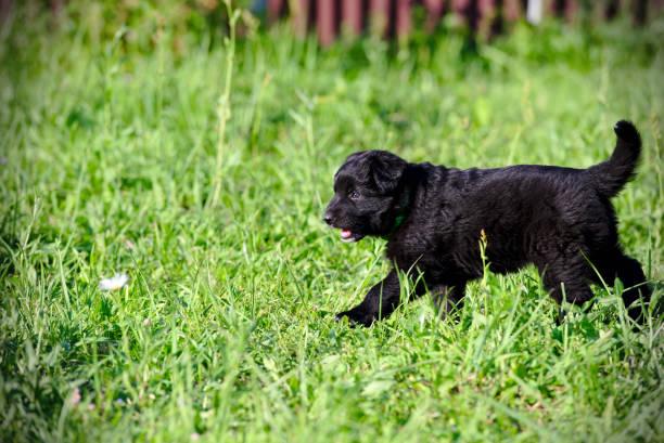Cтоковое фото Black puppy on a green field