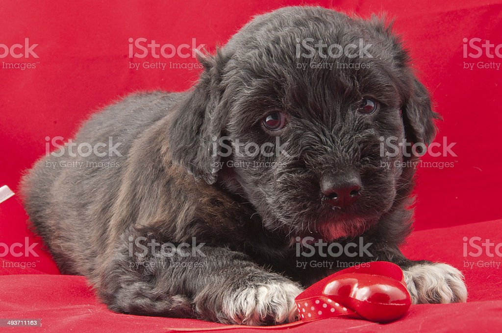 black puppy royalty-free stock photo