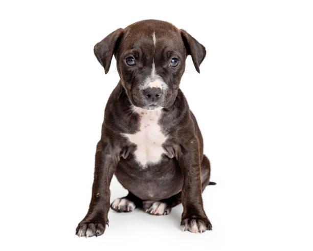 schwarzen welpen weiße brust sitzen - extrahiert - pitbull welpen stock-fotos und bilder
