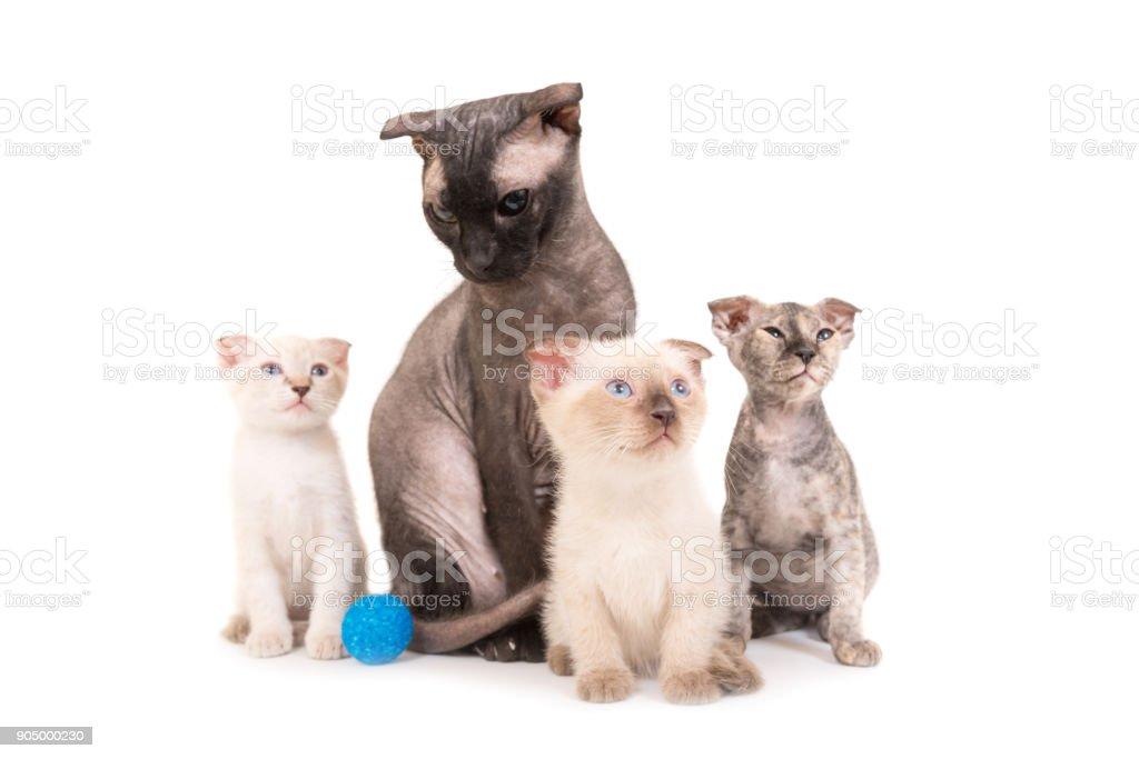 Black purebred sphinx cat with three kittens stock photo