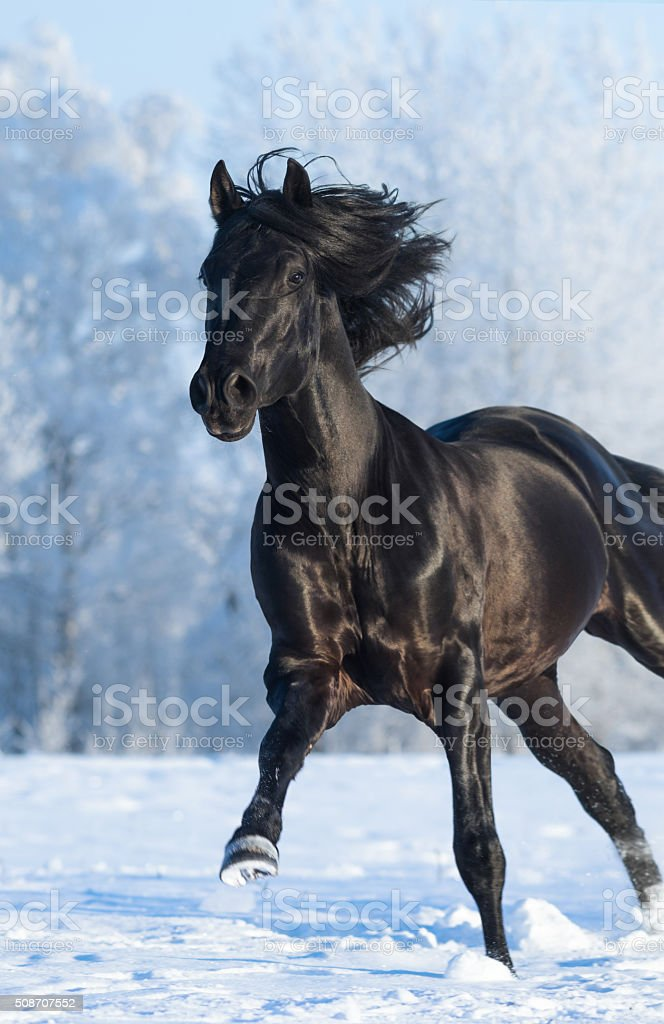 Black Purebred Stallion Running Fast Gallop Stock Photo Download Image Now Istock