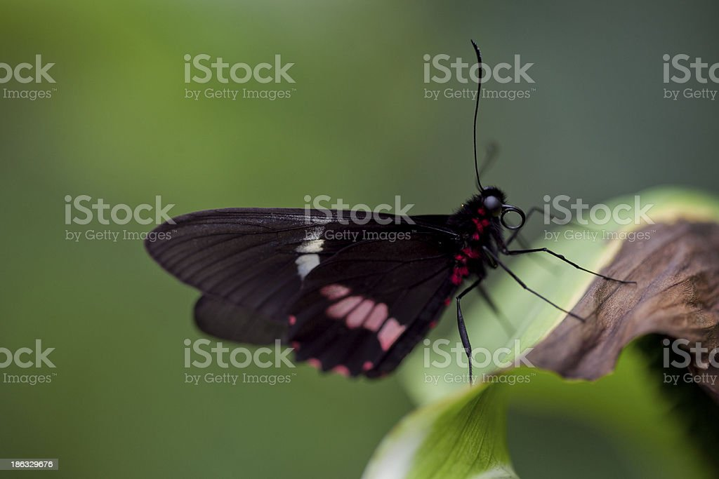 Black purple butterfly with shallow DOF royalty-free stock photo