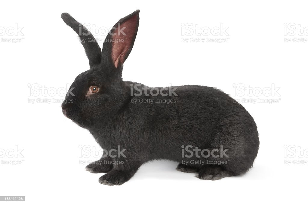 Black Rabbit Flemish Giant royalty-free stock photo