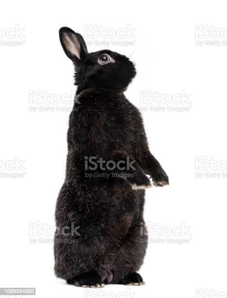 Black rabbit isolated on white picture id1069594592?b=1&k=6&m=1069594592&s=612x612&h=fh sipy19xboduczilwrdjoaxjn8qqyuxc42jv6dtva=