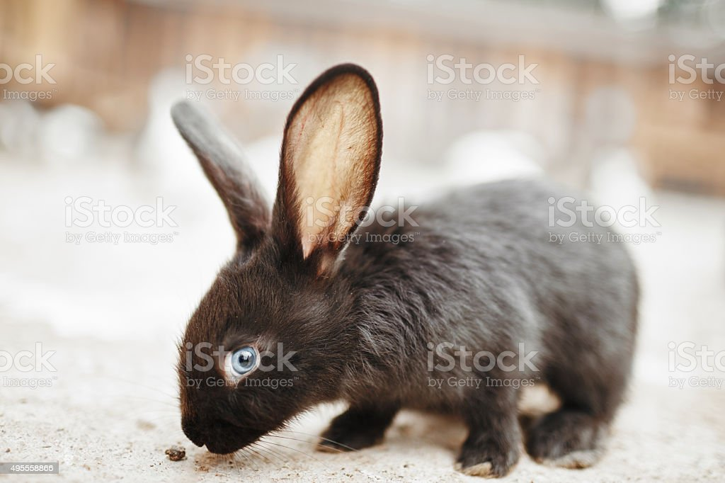 Black rabbit with blue eyes Black rabbit with blue eyes and long ears 2015 Stock Photo