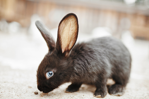 Black Rabbit With Blue Eyes Stock Photo - Download Image Now
