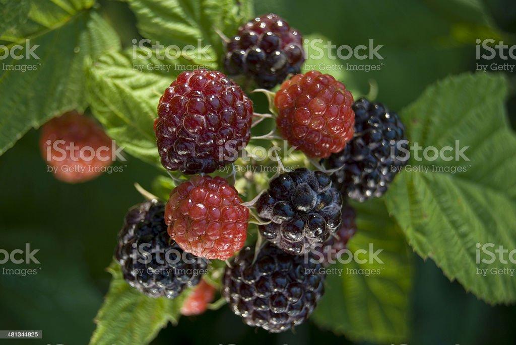 Black Raspberries stock photo