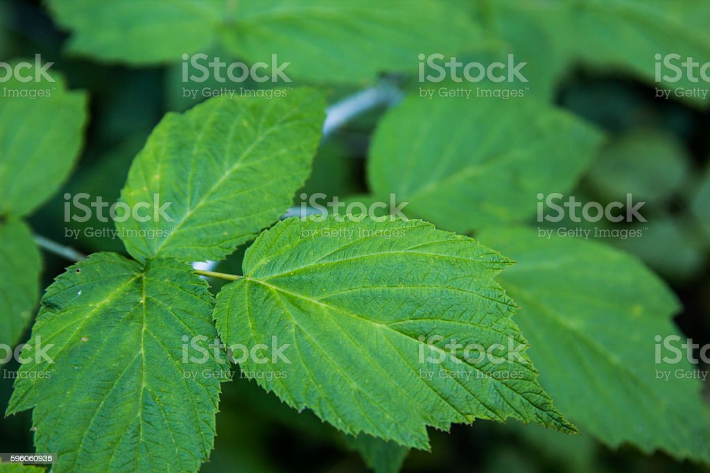 Black Raspberry Plant Without Berries royalty-free stock photo