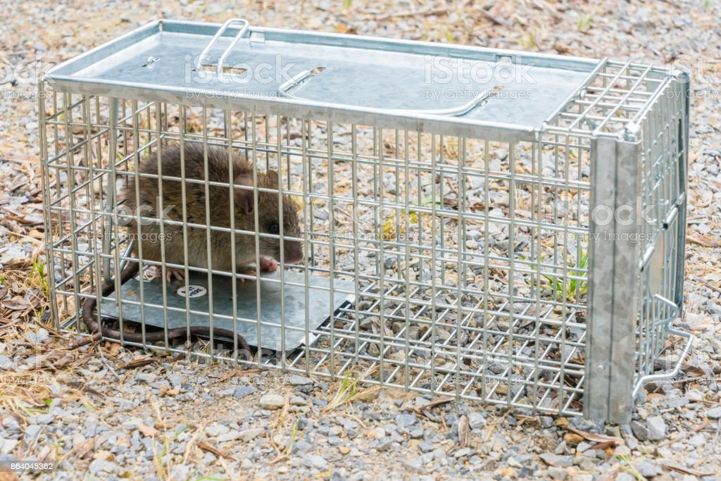 Black Rat captured in a cage trap stock photo