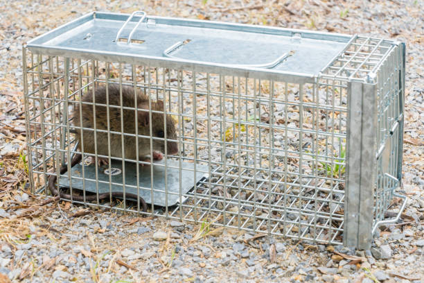 Black Rat captured in a cage trap European Black Rat captured in a cage trap rodent stock pictures, royalty-free photos & images