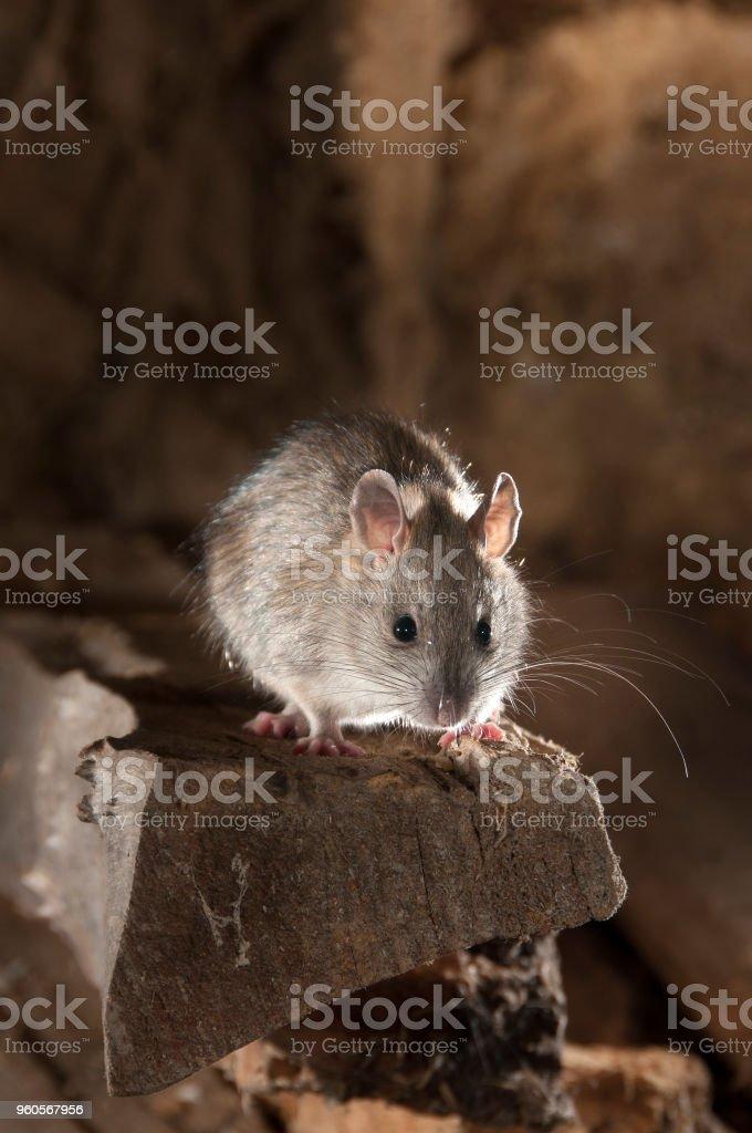 Schwarze Ratte oder Feld Ratte Porträt in einer alten Heuschober, Rattus Rattus, Spanien – Foto