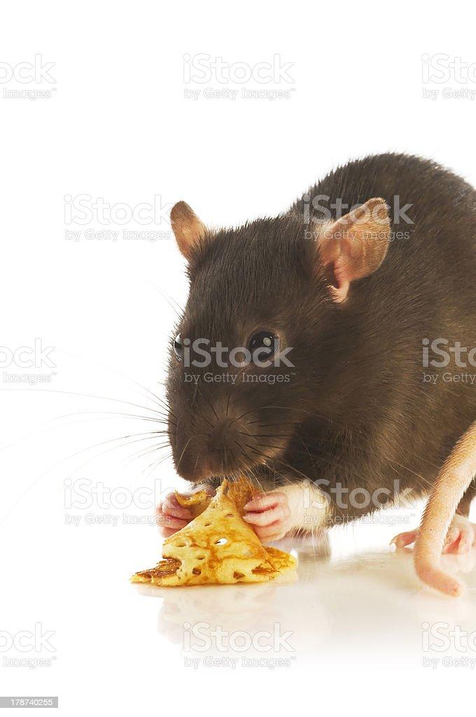 Black rat royalty-free stock photo
