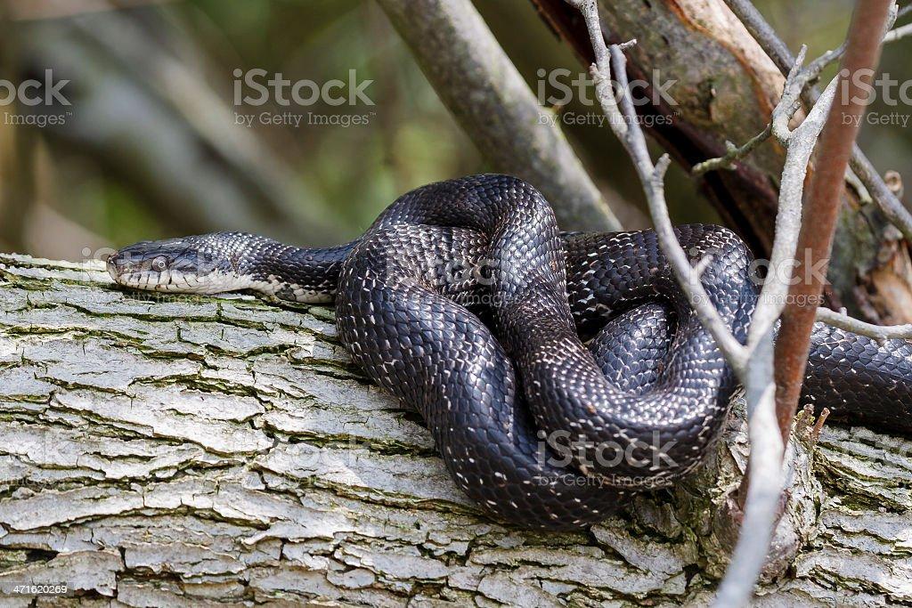 Black Rat Snake stock photo