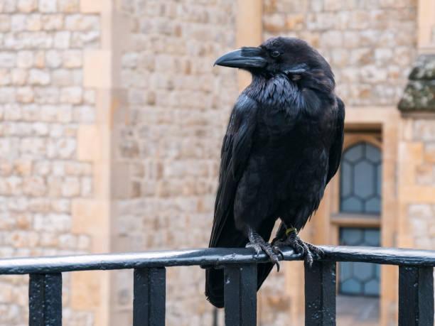 Black Raven at the Tower of London, Vereinigtes Königreich – Foto
