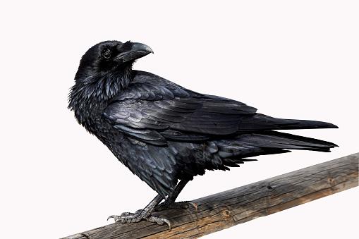 Crows flying ( Corvidae )