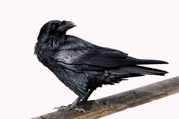 black raven bird - saatkrähe stock-fotos und bilder