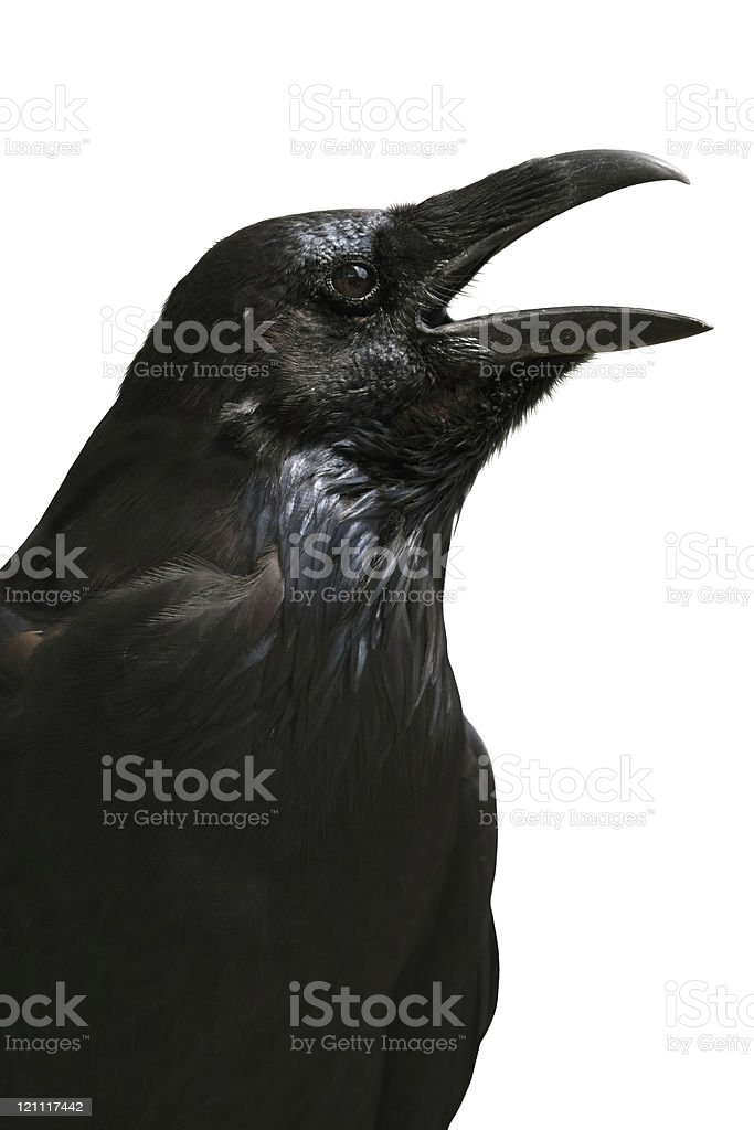 Black raven from Tower of London isolated on white background stock photo