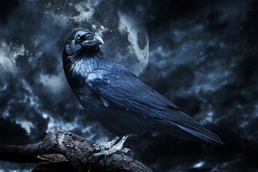 Black raven in moonlight perched on tree. Scary, creepy, gothic setting.