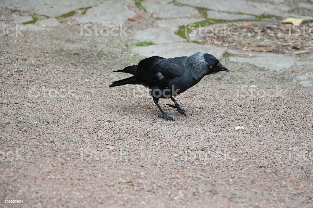 Black raven in the public park Trädgårdsföreningen, Sweden Scandinavia stock photo