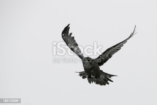 Black Raven flying in the wild