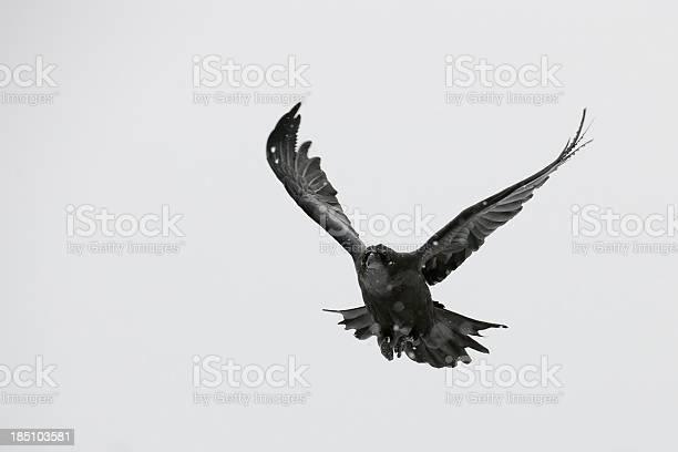 Black raven picture id185103581?b=1&k=6&m=185103581&s=612x612&h=7t2ev2mfmit jc gandes1o0lodvkrkuxaebwkotvmu=