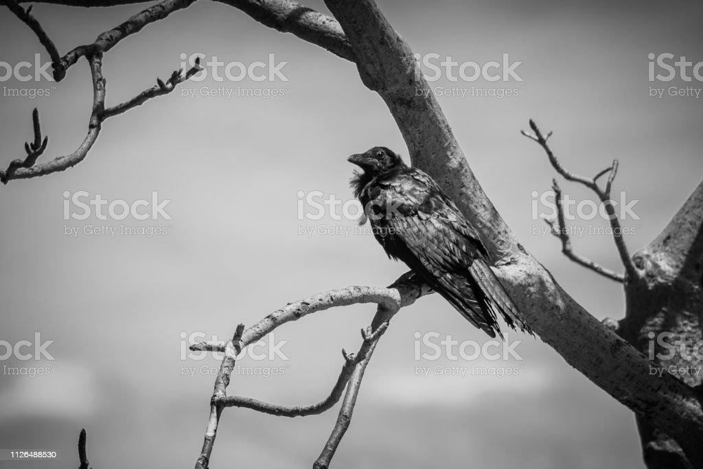 Photo Libre De Droit De Corbeau Noir Assis Dans Adansonia