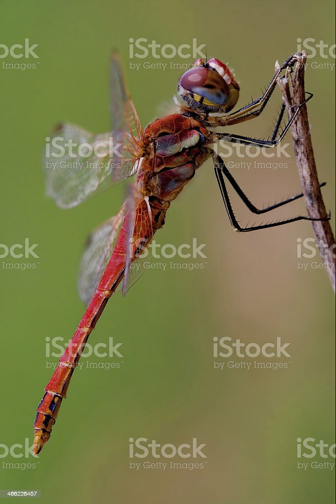 black red dragonfly stock photo