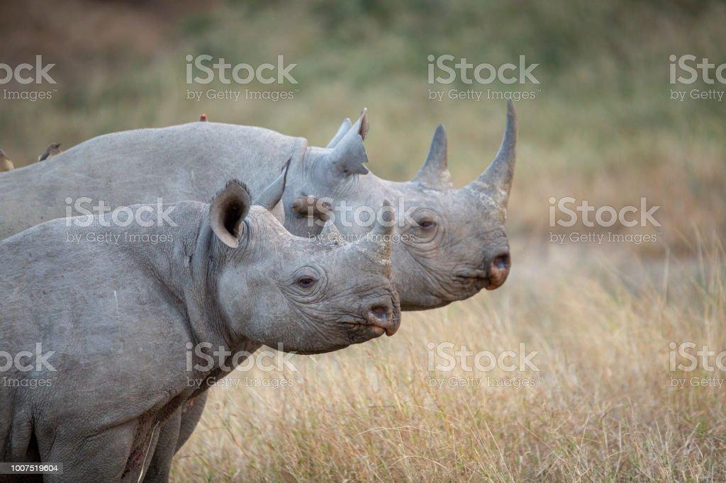 Black Rhino and calf stock photo