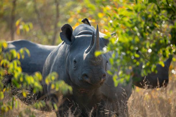 Black Rhino and calf – zdjęcie