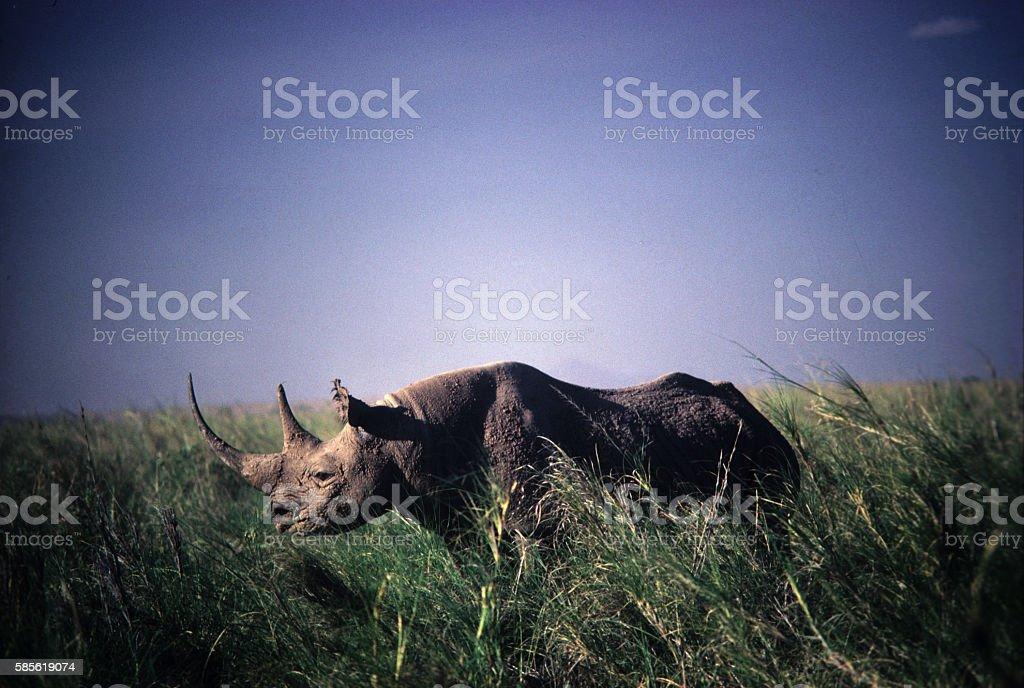 Black Rhino at Amboseli National Park, Kenya stock photo