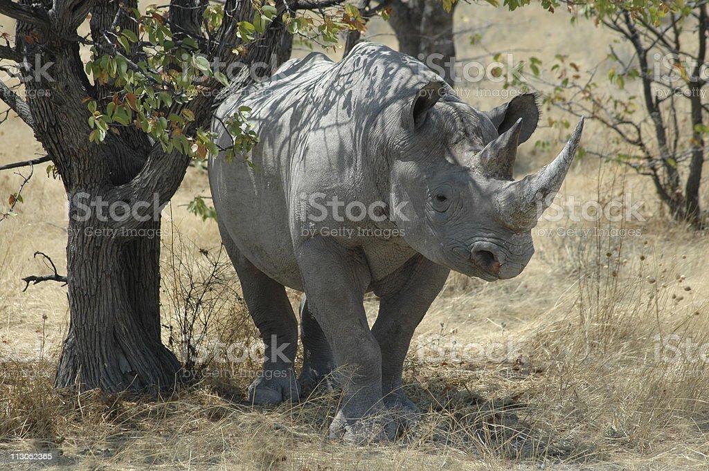Black Rhino at Etosha, Namibia royalty-free stock photo