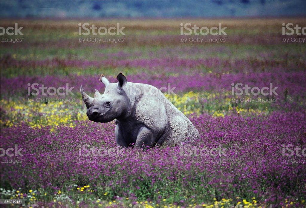 Black Rhino at Ngorongoro Crater, Tanzania stock photo