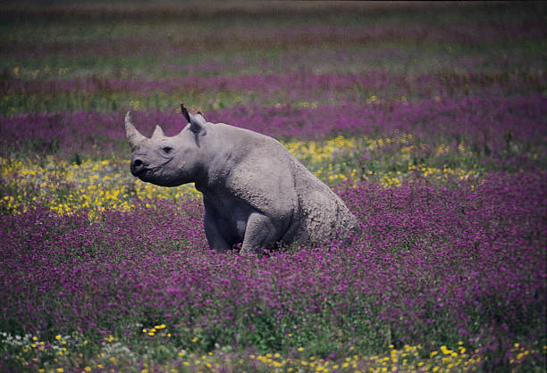 Black Rhino at Ngorongoro Crater, Tanzania Black Rhino sitting on a sea of colorfull wild flowers at Ngorongoro Crater floor, Tanzania ngorongoro conservation area stock pictures, royalty-free photos & images
