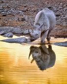 Black rhino at a waterhole in Etosha National Park during sunset.